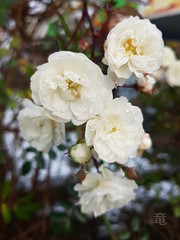 white roses in winter (Ola 竜) Tags: roses miniatureroses whiteroses rose whiteflowers macro flower dof focus s7 bokeh flowers bush garden snow cold frosty meltingsnow dew drop droplets waterdrops wet winter floral composition briar greenleaves plant rosachinensisminima white petals