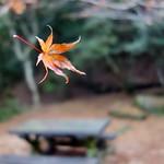 Falling Maple Leaf (Momijidani, Miyajima, Japan) thumbnail