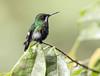 IMG_9208 Green Thorntail (suebmtl) Tags: bird birding ecuador pichinchaprovince sanmigueldelosbancos miradorrioblanco greenthorntail popelairiaconversii