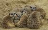 Snuggle! (paulapics2) Tags: meerkat fauna tropicalwings cute canoneos5dmarkiii canonef70300mmf456lisusm