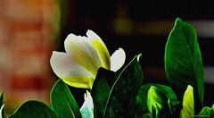 capullo veraniego (ojoadicto) Tags: manipulaciondefotos texture textura flor flower capullo jazmin verano nature naturaleza artisticphotography