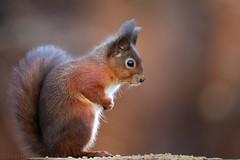 Red Squirrel 6962(6D3) (wildlifetog) Tags: red southeast squirrel alverstone isleofwight uk mbiow martin blackmore britishisles britain british wild wildlifeeurope wildlife nature canon england european eos6d