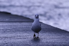 Walking On The Shore - Brittany (Léo Denoual) Tags: blackheadedgull chroicocephalusridibundus brittany cancale december winter rain cold sea bird shore jetty rock blue wind sunlight shadows outside walking purple colorful beach