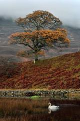 Mute Swan (Gavin MacRae) Tags: muteswan swan swanreflection swanreflected whiteswan cygnusolor glenstrathfarrar oaktree autumn autumnwildlife autumncolors strathglass glencannich glenaffric lochbeannacharan bird scottishwildlife scottishnature highlandnature highlandwildlife highlands highlandsofscotland scotland nature wildlife nikon