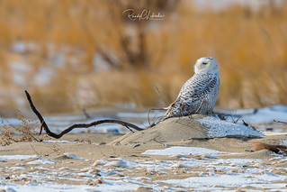 Snowy Owls of New Jersey | 2017 - 16 [EXPLORED]