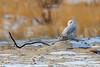 Snowy Owls of New Jersey | 2017 - 16 [EXPLORED] (RGL_Photography) Tags: birding birds birdsofprey birdwatching buboscandiacus gardenstate jerseyshore monmouthcounty mothernature nature newjersey nikonafs600mmf4gedvr nikond500 ornithology owls raptors snowyowl us unitedstates wildlife wildlifephotography beachowl