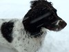 Snowing (Heaven`s Gate (John)) Tags: brock springer spaniel dog pet snow cold johndalkin heavensgatejohn closeup blur white england