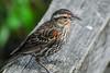 Female Redwing Blackbird (red-wing) Tags: bird animal outdoor wildlife nature canada burnaby burnabylake britishcolumbia perch female redwing redwingblackbird