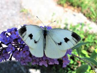 Butterfly 1533