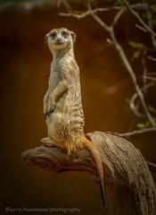 Look at that Face (lastminutephoto) Tags: larrymammone sentinel meerkat animal mammal san diego zoo nature tan