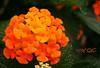 Kantutay (A. K. Hombre) Tags: kantutay lantanacamara plant flowers inflorescence macro flores fleur flora dof depthoffield blooms blossoms