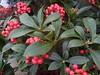 WINTER COLOUR (hazelisles,(www.youtube.com/user/hazelisles)) Tags: macro flowers macroflowers