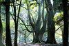 Forest air (HarQ Photography) Tags: kipon handevision iberit2475mm sony a7r2 nature tree forest japan nara