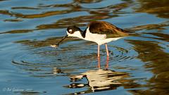 Black-necked Stilt (Bob Gunderson) Tags: birds blackneckedstilt california himantopusmexicanus northerncalifornia santaclaracounty shorebirds shorelinelake southbay