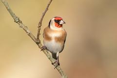 Goldfinch in Golden Winter Light (www.andystuthridgenatureimages.co.uk) Tags: