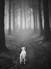 Looking for the Gruffalo (Man with Red Eyes) Tags: beaconfell forestofbowland india goldenretriever dog walk gruffalo monochrome blackwhite hasselblad mediumformat p45 c1 v11 hc100mmf22 lancashire northwest grain