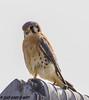 American Kestrel (orencobirder) Tags: birds largebirds hawks flickrexport