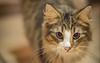 Our Prince Wil (biglo_de) Tags: norweger waldkatze norwegischewaldkatze katze cat tier animal haustier fokus schärfentiefe tiefenschärfe bokeh nikon pets portrait eyes indoor kitten kater