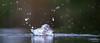 Kingfisher dive-1375 (Theo Locher) Tags: ijsvogel kingfisher eisvogel martinpecheur alcedoatthis vogels birds vogel oiseaux netherlands nederland copyrighttheolocher