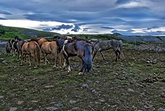 Republic of Iceland  ~ Icelandic Horses ~ Attraction Site (Onasill ~ Bill Badzo) Tags: iceland landmannalaugar route trail hiking snow mountain nature sky clouds onasill landmark historic hdr landscape july reykjavík ultramannalaugar travel tourist river canyon frame border photo outdoor serene rapids sunset golden hill mountainside cliff crag grassland field rock wild horses free range mild republic animal