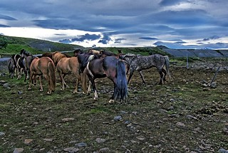 Republic of Iceland  ~ Icelandic Horses ~ Attraction Site