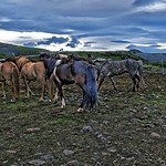 Republic of Iceland  ~ Icelandic Horses ~ Attraction Site thumbnail