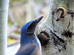 Busy bird (thomasgorman1) Tags: jay scrubjay wildlife nature canon tree closeup outdoors southwest nm