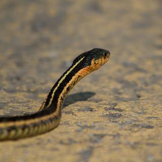 Snake Crossing