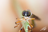Long Darting Robber Fly (STFabian) Tags: insect macro robber fly robberfly diptera