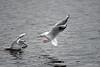 Möwenstreit am zweitletzten Tag im Jahr (Susanne Weber) Tags: gulls möwe möwen gull natur see wasser wasservögel vögel vogel outdoor