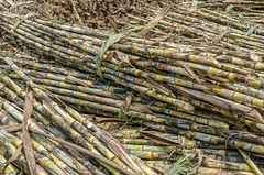 Sugarcane ready for processing (Pejasar) Tags: family business sugarcane processing neardelhi india raw plant green ready bundled