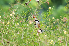20171214-EM124105 (shutterblades) Tags: birds longtailedshrike olympusem1mkii olympusmzuiko300mmf4pro14tc seletaraerospacepark seletarwestlink