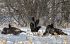 DSC_4019 (PaulPagéPhotos) Tags: wildturkeys birds turkeys nature