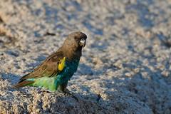 Meyer's Parrot at clay lick at dawn (cirdantravels (Fons Buts)) Tags: poicephalusmeyeri poicephalus papegaai parrot papegei perroquet psittacini psittaciformes kafue kaingusafarilodge coth5