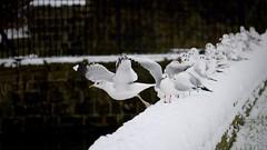 Yella Legs (_J @BRX) Tags: commongull compensationreservoir longwood huddersfield december 2017 gull seagull yorkshire england uk nikon d5200 winter snow dam bird