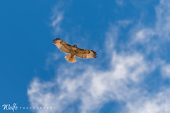 Cooper Hawk in Flight (Aaron_Smith_Wolfe_Photography) Tags: cooperhawk