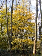 Field Maple (Baractus) Tags: field maple john oates earlswood moathouse nr warwickshire uk wildlife trust nature reserve