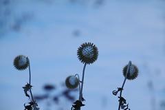 Leftover Globe Thistle-brrrr (Explored-Thank you) (outdoorpict) Tags: frozen snowpacked cold garden mansionhouse blanket winter plants outdoors purple survivors