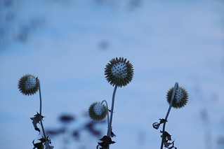 Leftover Globe Thistle-brrrr (Explored-Thank you)