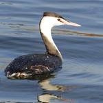 Great Crested Grebe P1530592 thumbnail