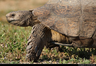 Leopard tortoise, Addo Elephant NP, South Africa