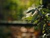 Sage (nikjanssen) Tags: salie sage bokeh vintagelenses jupiter912f85mm garden hff
