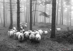 Rebaño entre pinos (Jabi Artaraz) Tags: jabiartaraz jartaraz zb euskoflickr artaldea rebaño ovejas sheep pinar pinos niebla monocromo nature