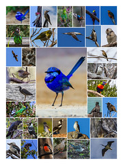 WA Bird Collage 2017 (BiteYourBum.Com Photography) Tags: dawnandjim dawnjim biteyourbum biteyourbumcom copyright©2017biteyourbumcom copyright©biteyourbumcom allrightsreserved canoneos7d canonefs60mmf28macrousm sigma50500mmf4563dgoshsm canonef1740mmf4lusm apple imac5k lightroom5 manfrotto055cxpro3tripod manfrotto804rc2pantilthead loweproprorunner350aw australia westernaustralia perth bird birds