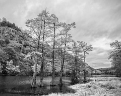 Cypress Trees in Oklahoma (A Anderson Photography, over 2.1 million views) Tags: brokenbowstatepark brokenbow canon cypress bw mono