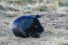 MID_0002 (mikedoylepics) Tags: seal seals greyseal donnanook lincolnshire lincolnshirewildlifetrust animals british britishwildlife d500 mammals nature nikon nikond500 wildlife wild