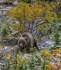 Grizzly Encounter (Philip Kuntz) Tags: grizzly bear brownbear grizzlybear yukon