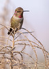 Hummingbird 12.16.17 4 (Marcie Gonzalez) Tags: hummer hummingbirds hummers birds fly flight flying midair wing wings fast motion movement small animal nature outdoors southern california socal orange county oc north america usa us park feathers natural light