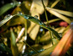 Crystal Balls. (god_save_the_green) Tags: raindrops waterdrops drops gouttedepluie gouttesdeau water grass macro zoomup olympuspenepl1 november2017 mathildeaudiau nature flora environment idf iledefrance