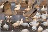 Let the Games Begin 5208 (maguire33@verizon.net) Tags: bosquedelapache bosquedelapachenationalwildliferefuge gruscanadensis bird crane goose sandhillcrane snowgoose wetlands wildlife sanantonio newmexico unitedstates us